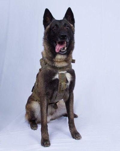 Conan, el perro que será condecorado