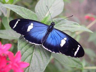 Hallan flujo genético en mariposas, incluso entre especies distantes