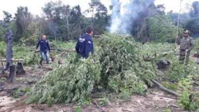 Destruyen 10 hectáreas de marihuana en Pedro Juan Caballero