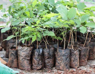 Tras incendio, inician reforestación en Parque Guasu