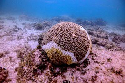Una rara enfermedad amenaza los corales del Caribe mexicano