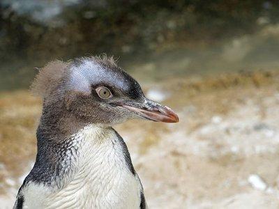 Acusan a Rusia de injerencia en concurso de ave de Nueva Zelanda