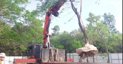 Unos 70 árboles voi se  trasladaron del Botánico