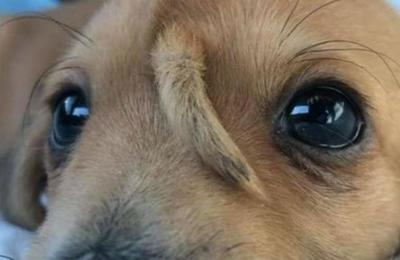 Narwhal, el cachorro que nació con una cola en la frente y que fue rescatado de un basurero