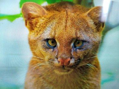 Fue criado como un gato, pero era un puma