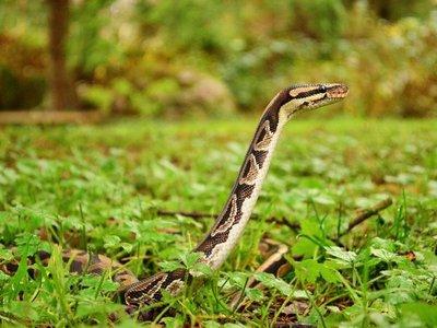 Las serpientes tuvieron patas posteriores en sus primeros 70 millones de años