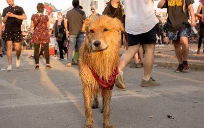 Rucio Capucha, el perrito guerrero que vivió las duras protestas en Chile