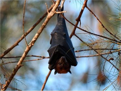 Salud recomienda precauciones y evitar contacto con murciélagos