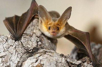 ¿Qué hacer si un murciélago se instala en casa?