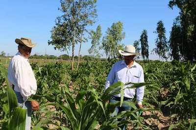 Ñeembuqueños destacan excelente crecimiento de la producción de maíz