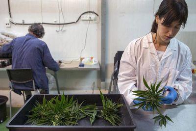 Debaten acerca del uso medicinal del Cannabis