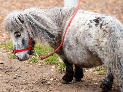 Bombel, el caballo más pequeño del mundo