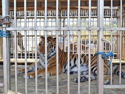 Tres tristes tigres son trasladados a una reserva tras sufrir en un circo