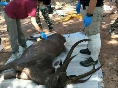 Un ciervo muerto a causa de los desechos de plástico