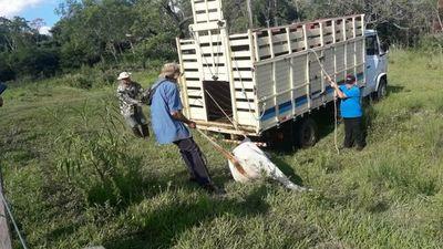 Recuperan ganado denunciado como robado