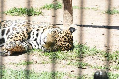 """Recuerdan """"Día Internacional del Jaguareté"""", especie en vía de extinción"""