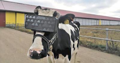 Vacas con casco  virtual producen mejor leche