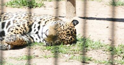 Recordarán el día del jaguarete con actividades