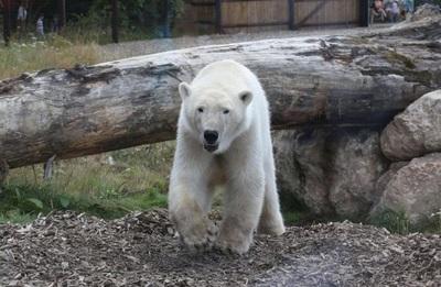 Francia: muere oso polar en zoológico e intentan desechar su cuerpo como basura común