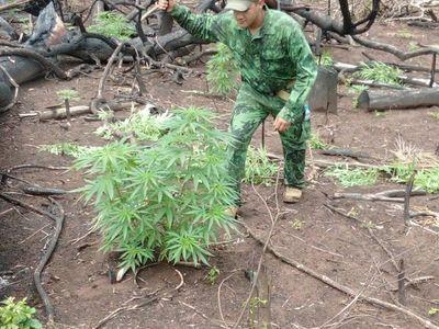 Destruyen plantaciones de marihuana en el Amambay