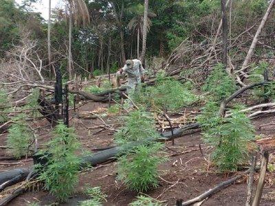 Senad elimina 18 toneladas de marihuana en Amambay