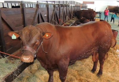 Paraguay exportará 1.650 embriones bovinos a Ecuador