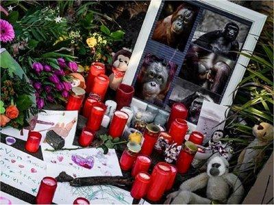 El gorila más viejo de Europa entre las víctimas del incendio en zoo alemán