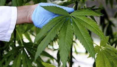 La marihuana medicinal uruguaya está lista para su primera exportación