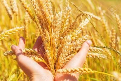 Los créditos para el cultivo de trigo repuntan levemente