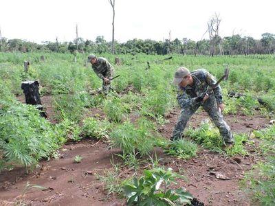 Destruyen 13 hectáreas de marihuana en Yby Yaú