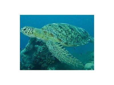 293 tortugas murieron en Pacífico luego de ingerir algas tóxicas