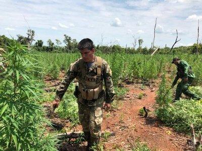 Anulan centro de producción y acopio de marihuana en Amambay