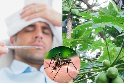 Receta para enfermo de dengue, a base de hojas de mamón