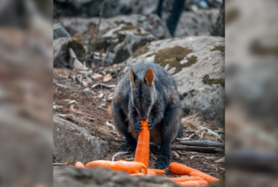 Lluvia de zanahorias y papas para animales en Australia