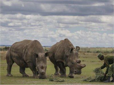 Científicos crean otro embrión viable de rinoceronte blanco
