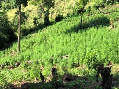 Destruyen importante cantidad de plantación de marihuana en Amambay