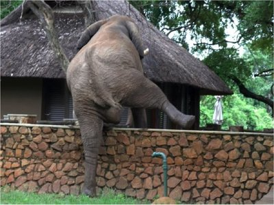 Registran momento en que un elefante salta un muro por mangos