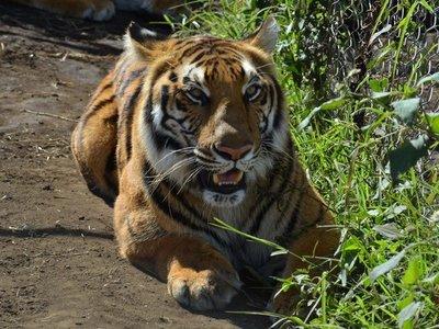 Guatemala envía tigres y leones rescatados a santuario de Sudáfrica