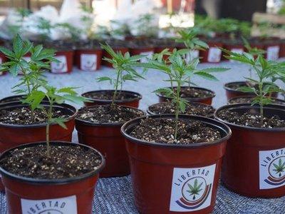 Crece el interés de cultivar marihuana en la propia casa