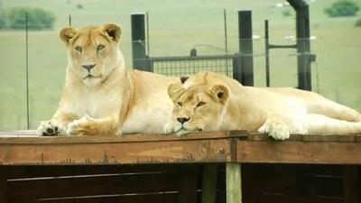 Llevan a Sudáfrica a 12 tigres y 5 leones rescatados de circos de Guatemala