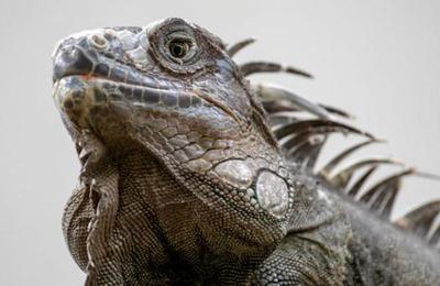 Ola de frío en Miami: advierten que pueden caer iguanas congeladas de los árboles