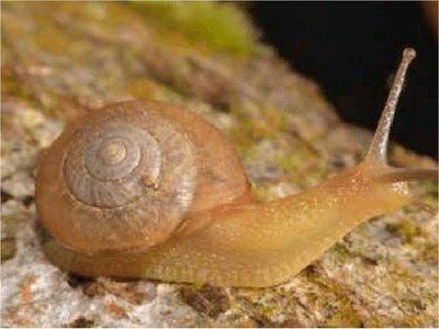 Encuentran un caracol que podría ayudar a combatir la plaga del café