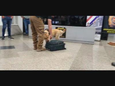 Can antidroga detecta cocaína en maletas en el Silvio Pettirossi