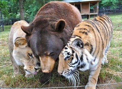 Estados Unidos: Inusual amistad entre un oso, un leon y un tigre en un refugio de animales