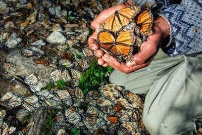 Encuentran otro ambientalista muerto en el santuario de mariposas en México