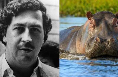 Los hipopótamos de Pablo Escobar están poniendo en peligro el ecosistema de Colombia