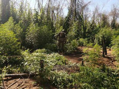 Destruyen ocho hectáreas de plantación de marihuana en Concepción