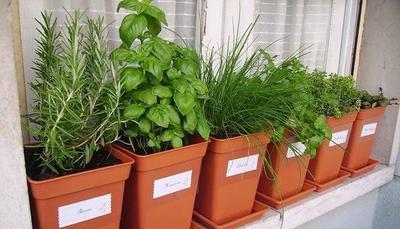 10 plantas para repeler mosquitos