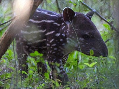 La tapir Valentina nace en cautiverio en Nicaragua