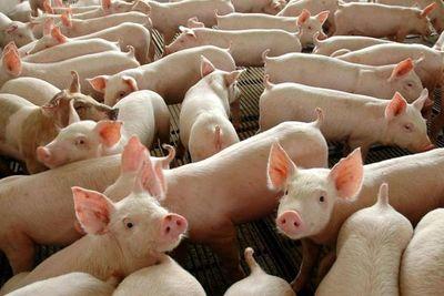 Los cerdos, aliados de la energía renovable en Brasil